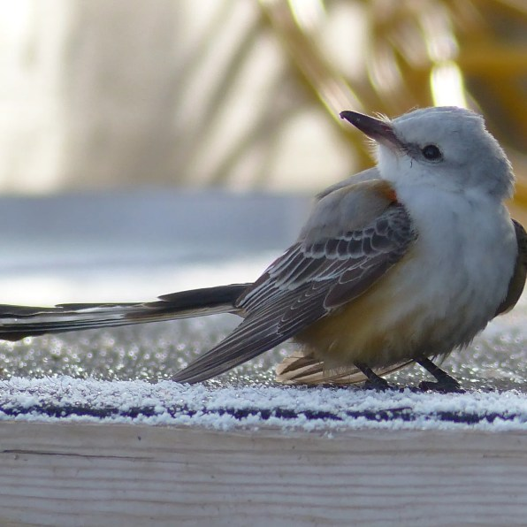 This immature Scissor-tailed Flycatcher was photographed at Cap-d'Espoir on the Gaspé Peninsula 18 Nov 2020, contributing a new record late date for the province of Québec. Photo © Réjean Deschênes.