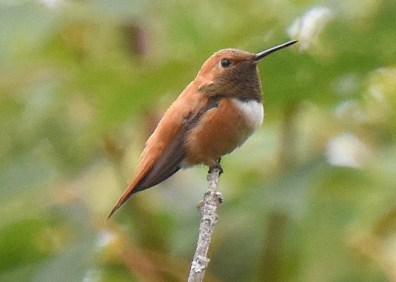 This Rufous Hummingbird, which briefly lingered in St. Martin's Parish, New Brunswick 6–9 Sep 2020, was a casual visitor to that province and an exciting yard bird for Jane LeBlanc. Here photographed on 7 Sep. Photos © Jane LeBlanc.