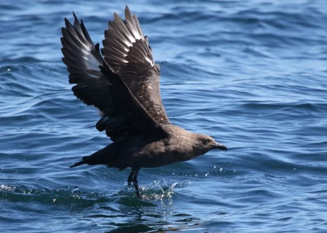 Reports of South Polar Skua from New Brunswick are generally from the Bay of Fundy, where this individual was photographed 19 Aug 2020 south of Grand Manan Island, New Brunswick during a pelagic outing. Photo © Alain Clavette.