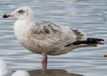 This likely second-cycle Slaty-backed Gull in Long Beach, Los Angeles on 19 Feb 2017 was one of two such gulls in southern CA this winter. Photo © Bernardo Alps.