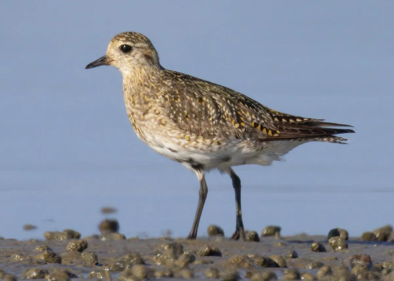 A state-first European Golden-Plover was found on 5 Apr 2021 at Duxbury Beach in Plymouth Co, Massachusetts. The only other New England record is from Mar 2008 in Scarborough, ME. Photo © Sean Williams.