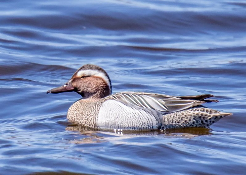 This Garganey discovered and photographed in an estuary near Hay Island, Northumberland Co, New Brunswick 3 May by Peter Gadd was an accidental vagrant to that province. Photo © Peter Gadd.