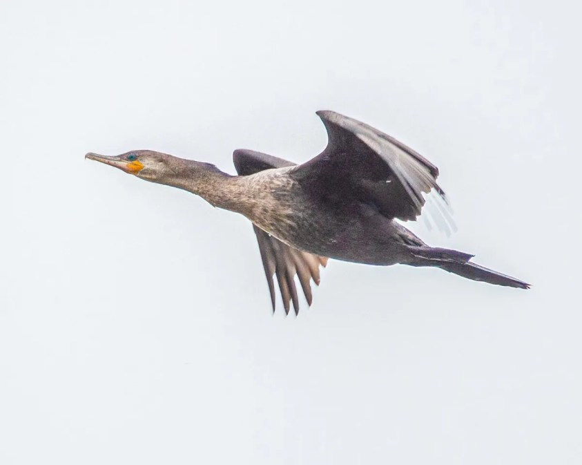Reports of Neotropic Cormorant have increased in recent years, especially in the lower Great Lakes, but this bird, photographed here on 21 April was an excellent record for Ottawa. Photo © Ken Ball.