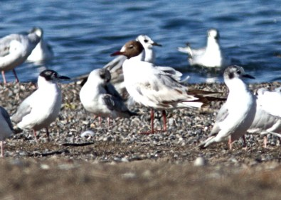 This Black-headed Gull hid well among the hundreds of gulls at Wheatley Harbour, Chatham-Kent Co. The species is recorded very infrequently in southwestern Ontario. Here 6 Jul, 2017. Photo © Blake A. Mann.