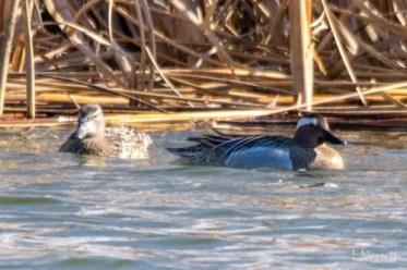 Saskatchewan also recorded its third Garganey, at Stenen on 8 May 2021. It remained until at least 15 May. Photo © Laura Massett.