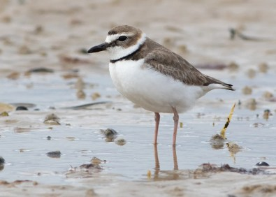 This Wilson's Plover, one of two in New England this spring, was found on 6 May 2021 at Napatree Point in Washington Co, Rhode Island. It was present through 8 May. Photo © Lucas Bobay.