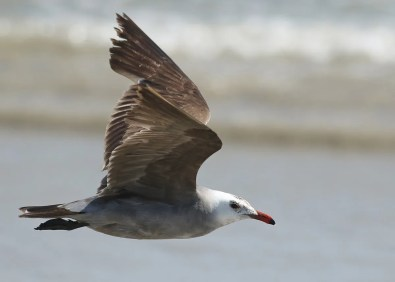 An adult Heermann's Gull, a first for both Massachusetts and Rhode Island, was seen on 27 May at Sakonnet Point, Newport Co, RI, and at Horseneck Beach, Bristol Co, MA. This widely wandering individual had also been seen in several southern states. Photo © Joel Eckerson.
