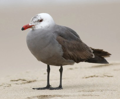 Virginia's second Heermann's Gull briefly stopped at the Virginia Beach oceanfront for two days (11–12 May) during its wanderings along the Atlantic Coast. Later in May this adult visited both sides of the Rhode Island/Massachusetts state line before appearing in New Jersey and eventually returning to the Southeast coast in June. Photo © Baxter Beamer.