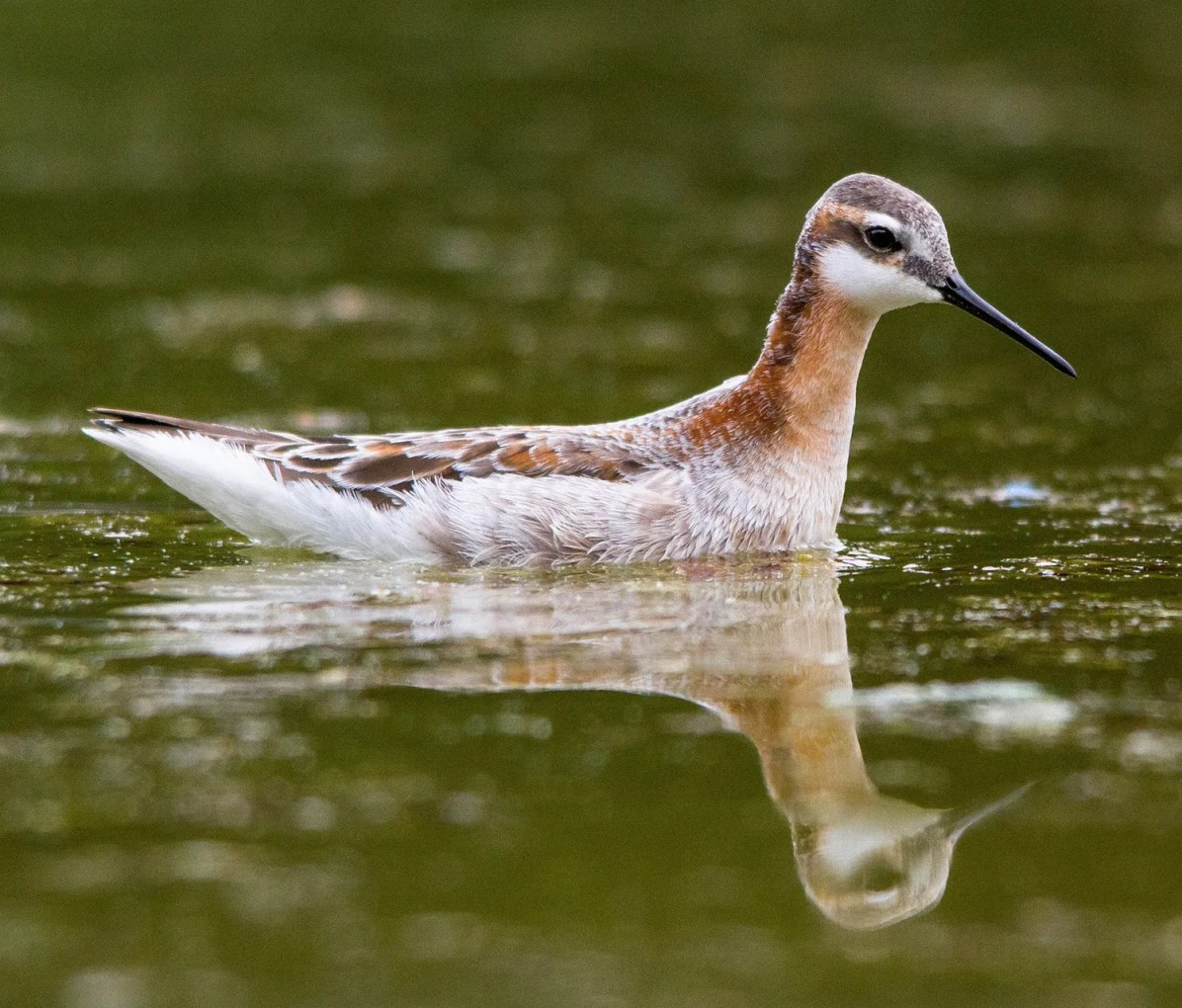 Dropping into Washington, DC's Constitution Gardens and Reflecting Pool for just one day on 9 May, this Wilson's Phalarope impressed birders and piqued the curiosity of more than a few nearby tourists. Photo © Nathan Tea.