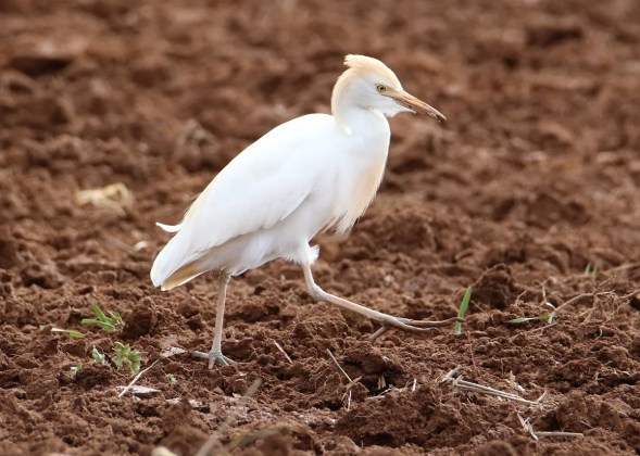 Casual to Prince Edward Island, this Cattle Egret was in the Montague area 23–25 April 2012, here photographed 23 Apr 2021. Photo © Nicole Murtaugh.