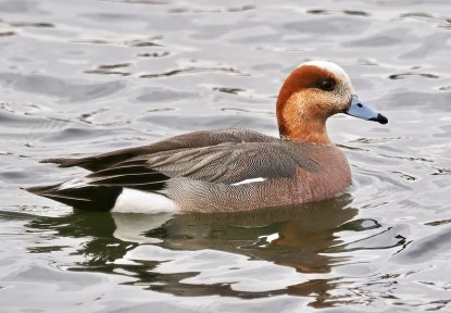 One of the more frequently reported hybrid ducks was this Eurasian Wigeon x American Wigeon at Calgary, Alberta 3 May 2021. Photo © Trevor Churchill.
