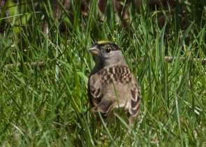 This Golden-crowned Sparrow was found on 28 Apr 2021 at Edgartown, Martha's Vineyard, Duke's Co, Massachusetts. It was present through at least 1 May. Photo © Will Schenck.