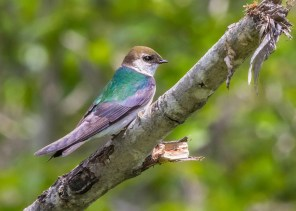 A mega-rarity to Ontario, this female Violet-green Swallow attempted nesting with a Tree Swallow at Thunder Bay. Here, 16 Jun, 2017. Photo © Christine V. Johnson.