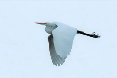 A Great Egret was a white-feathered, one-day wonder on 8 May 2021 at the Helena Valley Regulating Reservoir, Lewis and Clark Co, Montana. Photo © Janice Miller.