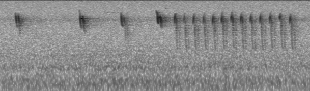 Casual to Nova Scotia, recordings of the vocalizations of a Sedge Wren by Kathleen MacAulay at Cape Forchu, Yarmouth Co 11 May 2021. This audio recording was and subsequently converted to a sonogram. Image © Kathleen MacAulay.
