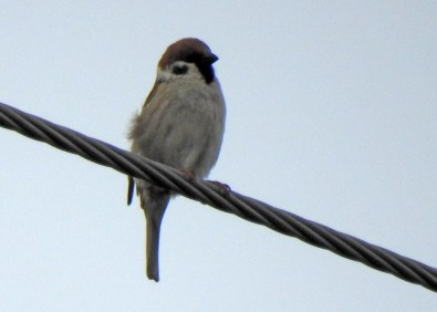 First described in detail by Roger Burrows 15 May 2021 on White Head Island, Charlotte Co, New Brunswick. Confirmation of the identity of this Eurasian Tree Sparrow was obtained when photographed by Rhonda Langelaan in nearby North Head, Gran Manan Island, Charlotte Co 16 May 2021. This is the first record of this species to New Brunswick, the Atlantic Region, and Canada. Photos © Rhonda Langelaan.
