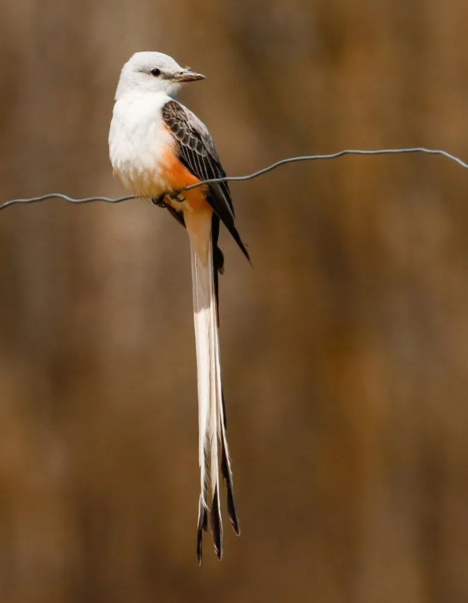 Casual in Minnesota, this gorgeous Scissor-tailed Flycatcher graced Aitkin Co from 7–11 May 2021. Here photographed on the 10th. Photo © Lon Baumgardt.