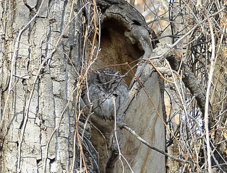 As both Eastern and Western Screech-Owls are very rare and considered sensitive in Alberta, locations are often kept secret. This Eastern Screech-Owl was at an undisclosed location in the south of the province during spring 2021. Photo © anonymous.