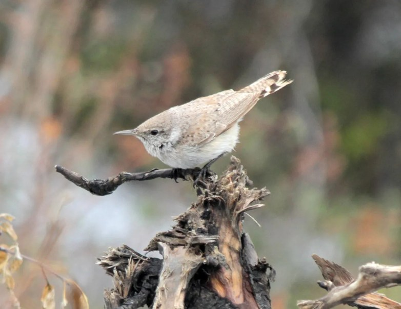 Rock Wrens are less-than-annual wanderers into Manitoba, but have occurred as far north as Churchill on Hudson Bay. This bird was also fairly far up north near The Pas, on 22 May 2021. Photo © David Raitt.