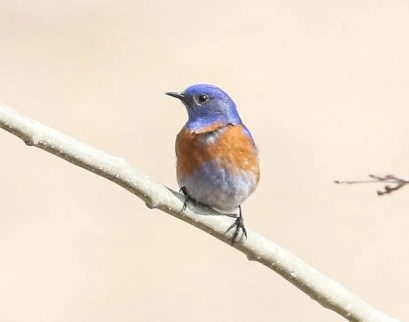 Still a rarity in Alberta, at the eastern edge of its range, this Western Bluebird was at Canmore on 26 Mar 2021. Photo © Ethan Denton.