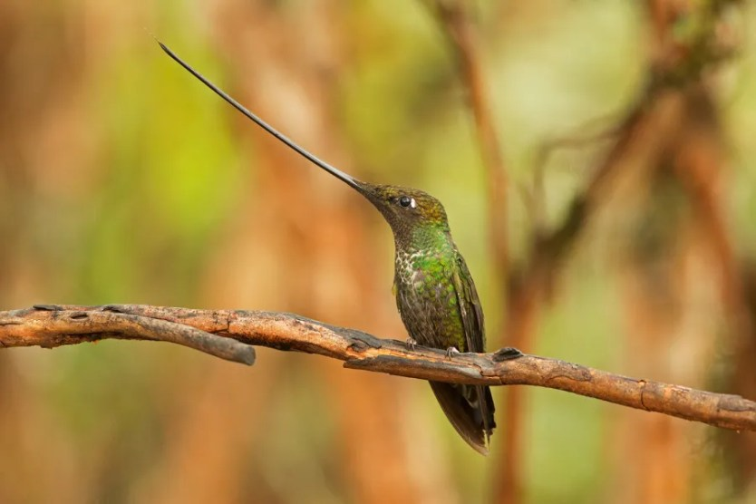 Sword-billed Hummingbird has the longest bill to body size of any bird on Earth Pablo Cervantes D