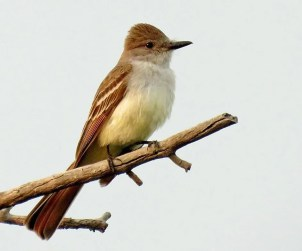 This Ash-throated Flycatcher, Nebraska's third documented record, was found near Exit 1 on I-80 in Kimball Co 29 Jun 2019 by Boni Edwards (here 4 Jul). It was last reported 17 Jul. Photo © Michael Willison.