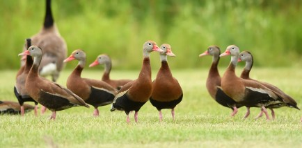 An irruption of Black-bellied Whistling-Ducks occurred this summer, with five records across the province, including this flock of 16, a new high count for the province, photographed here on 12 Jul in Port Dover, Norfolk Co. Photo © Joshua Vandermeulen.