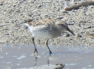Oregon's sixth White-rumped Sandpiper was at Summer Lake, Lake Co 4 June 2021. Late May and June are peak for vagrant White-rumped Sandpipers on the West Coast. Half of Oregon's records come from late May or June, and the other half come from August. This report coincided with sightings from southwest British Columbia, western Washington, northern and southeastern California, Utah, and southwest Colorado. Photo © Aaron Skirvin.