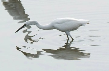 Delaware's fifth Little Egret lingered at Bombay Hook NWR, Kent Co, from 25 July into September, another sign of this species's growing establishment in the New World. It was photographed on 26 Jul 2021. Photo © Debbie Blair.