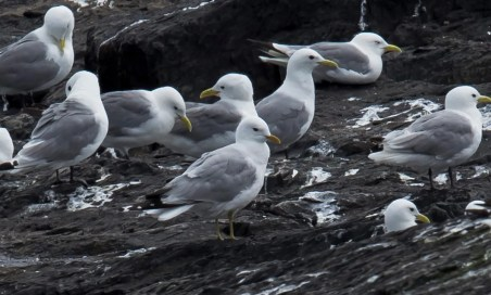 Exceptionally rare to Newfoundland and Labrador in summer, this Common Gull (ssp. canus) was a surprise discovery on Long Beach, Trinity Bay, Newfoundland 26 July 2021. Photo © Bruce Mactavish.