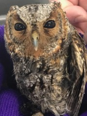 This Flammulated Owl was rescued from a tidal pool on the rocks below Yaquina Head, Lincoln Co on 24 June 2021. Flammulated Owls have never been reported on the Westside north of Douglas Co, or in a coastal county in Oregon or Washington. Photo © Cascade Raptor Center.