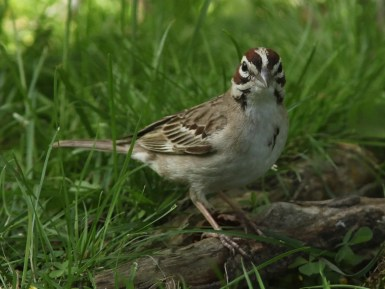 A rare visitor to New Brunswick, this Lark Sparrow was present at the home of Yolande LeBlanc in Memramcook, Westmorland Co 28–29 July 2021. Here photographed 29 July 2021. Photo © Gilles Belliveau.