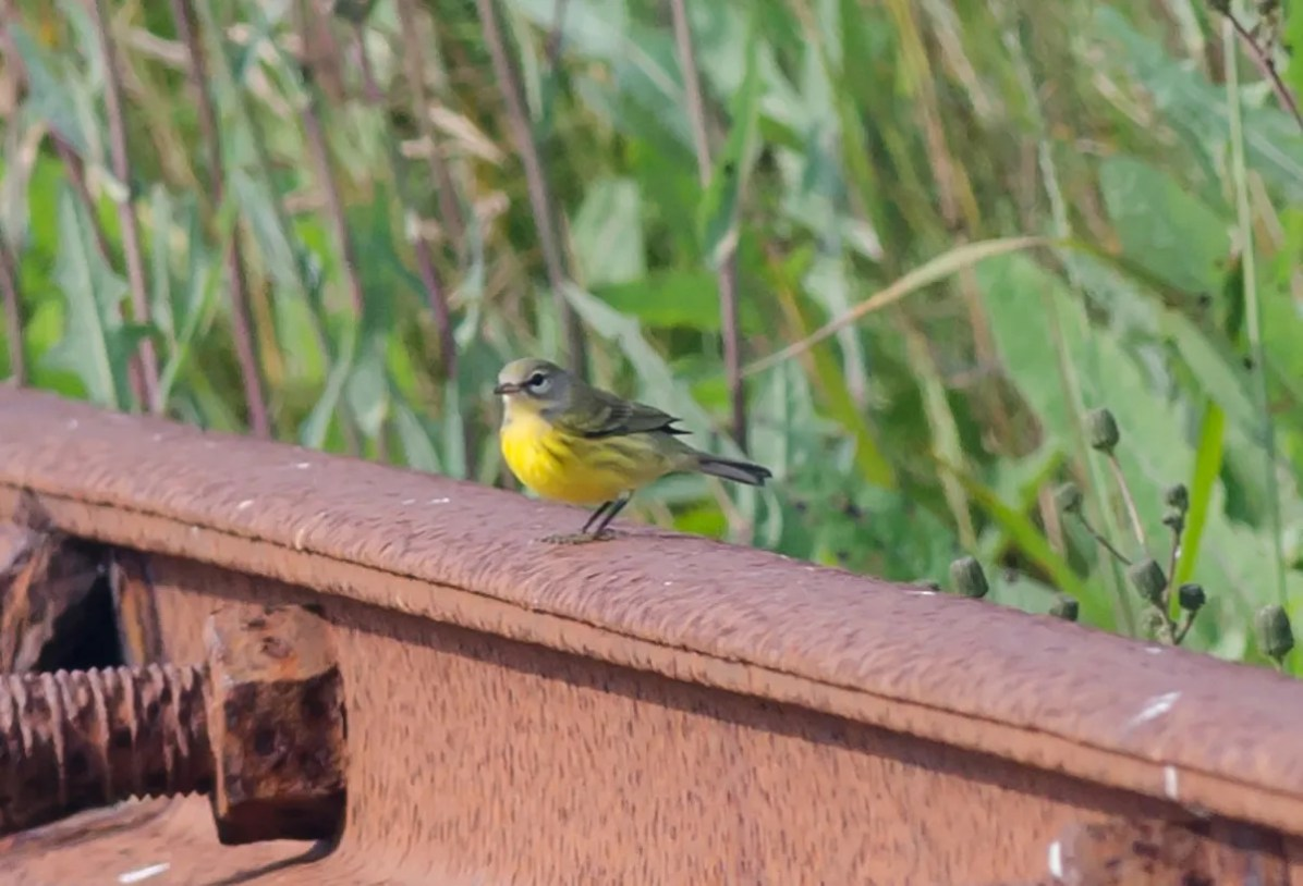 Accidental in summer to Nova Scotia, this Prairie Warbler on Green Island, Yarmouth Co 29 July 2021 provided the province with its third summer record of the species. Here photographed 29 July 2021. Photo © Alix d'Entremont.