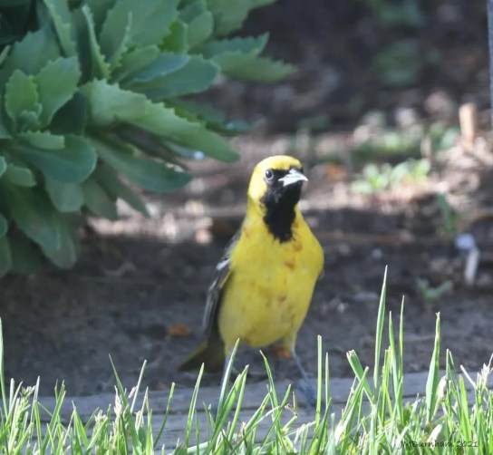 This Orchard Oriole at Claresholm 1 Jun 2021 provided Alberta with its first record. The western limit of the species' breeding range barely reaches into southeastern Saskatchewan. Photo © Jeanne Burnham.