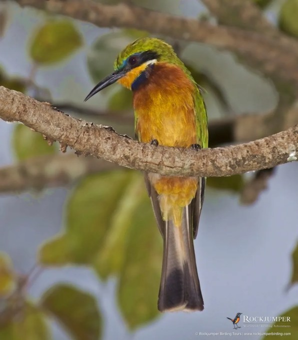 Cinnamon-chested Bee-eater by Adam Riley