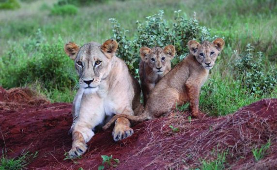 Lioness-and-cubs-by-Keith-Valentine-900x555