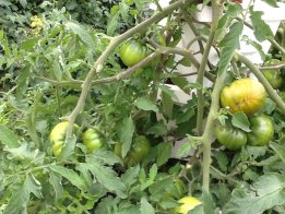 Heirloom Tomatoes - Perfect for sandwiches, sides, and salads.