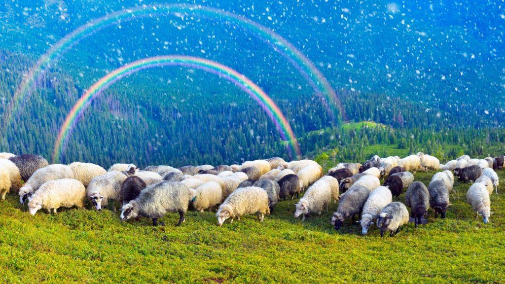 ovejas y pastor