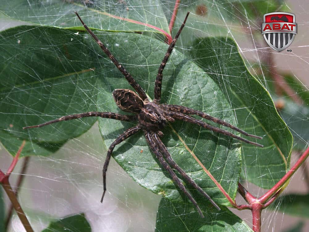 Dolomedes tenebrosus  une araigne impressionnante
