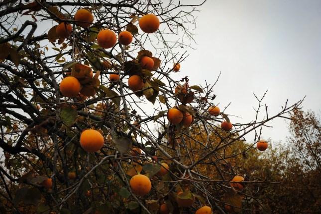 albero di cachi in autunno