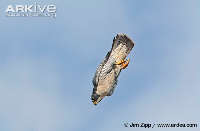 During His Show He Mentioned The Fastest Animal In The World The Peregrine Falcon Here Is A Link To A Video And More Information On The Bird