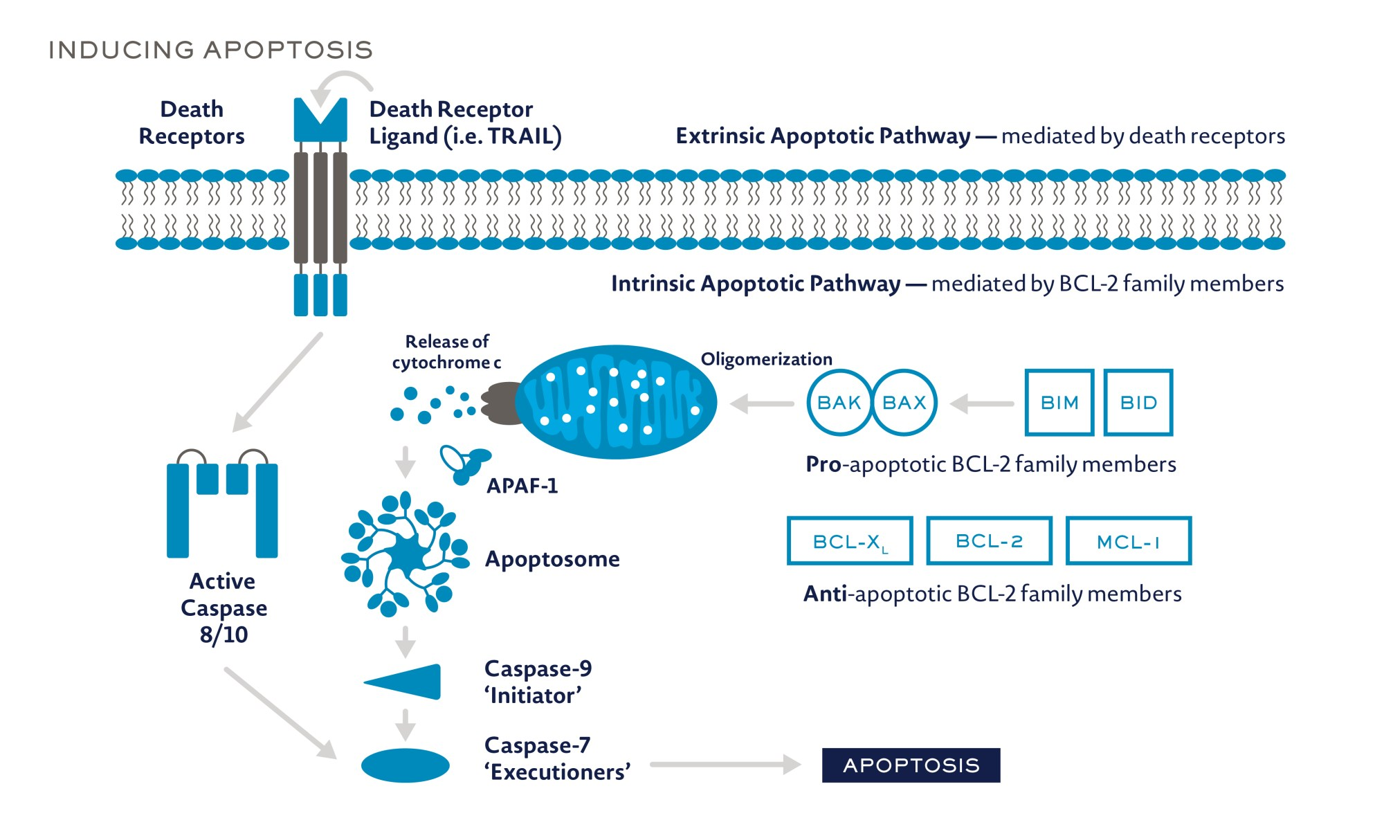 hight resolution of apoptosis programmed cell death abbvie oncologyapoptosis diagram 7