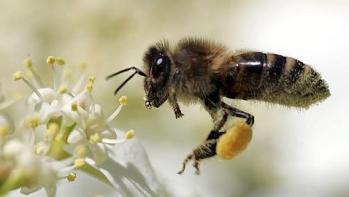 Resultado de imagen para abeja melífera australia