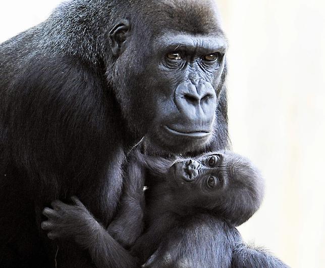 Los gorilas, más parecidos al hombre de lo que creíamos