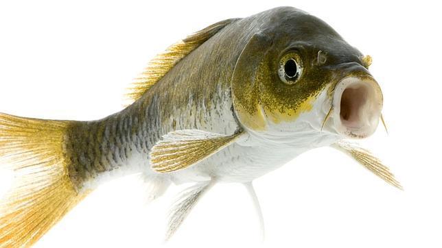 ¿Por qué los peces tienen orificios nasales si no se puede oler en el agua?