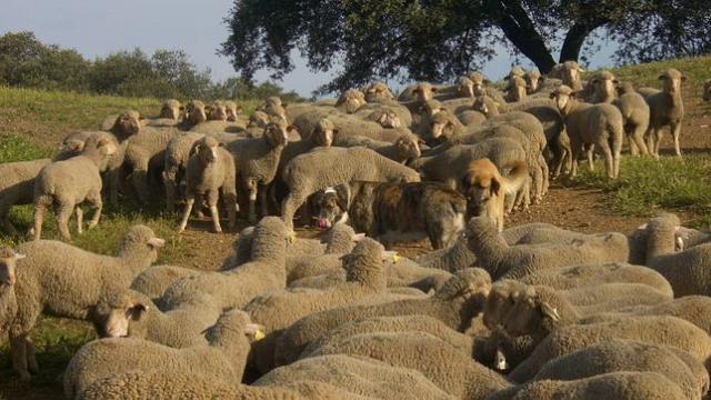 Ovejas que podrán avisar de la amenaza de lobo con mensajes de texto a sus pastores