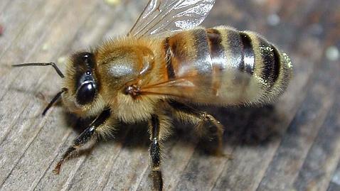 Descubren unas abejas en Francia que producen miel de color azul y verde