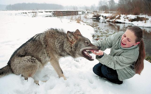 ¿Por qué los lobos no se pueden domesticar y los perros sí?