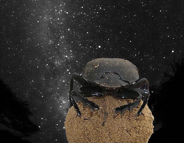 Los escarabajos peloteros utilizan las estrellas para orientarse