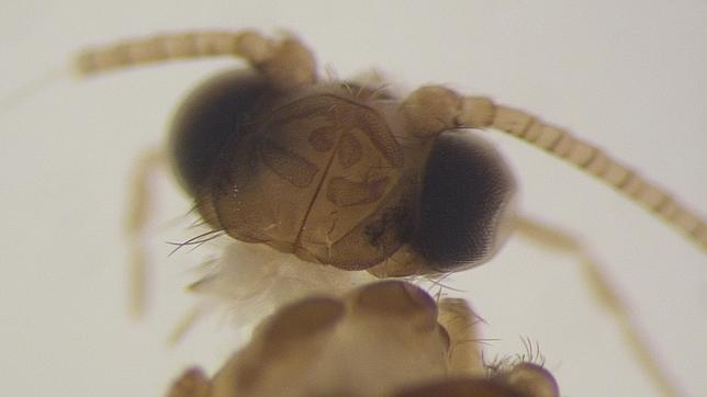Hallan en Cádiz un insecto que se creía extinguido en Europa